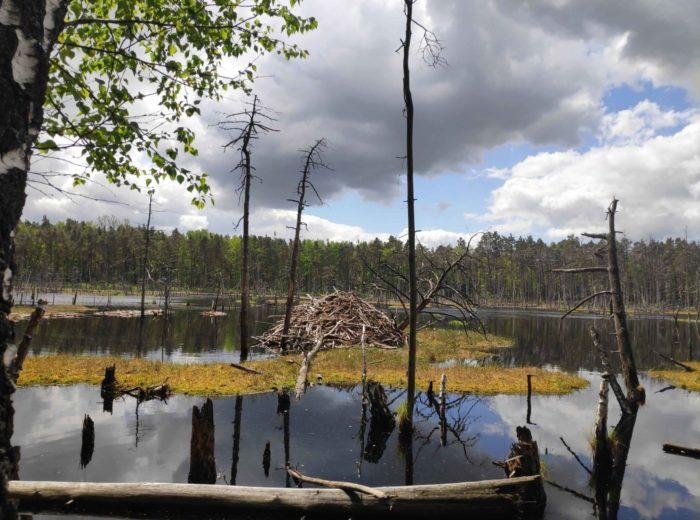 Bagno Bocianowskie - żeremie bobrów.