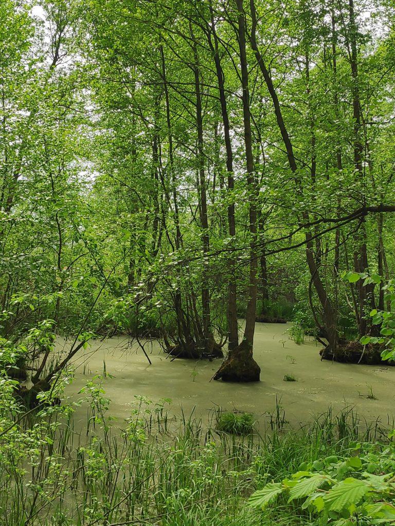 Malownicze olsy rosnące wwodzie.