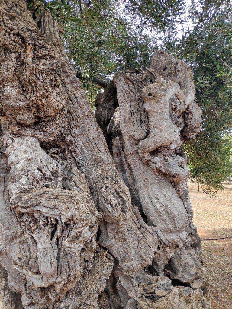 ….najstarsze, tysiącletnie drzewa oliwne wMasseria Brancatti