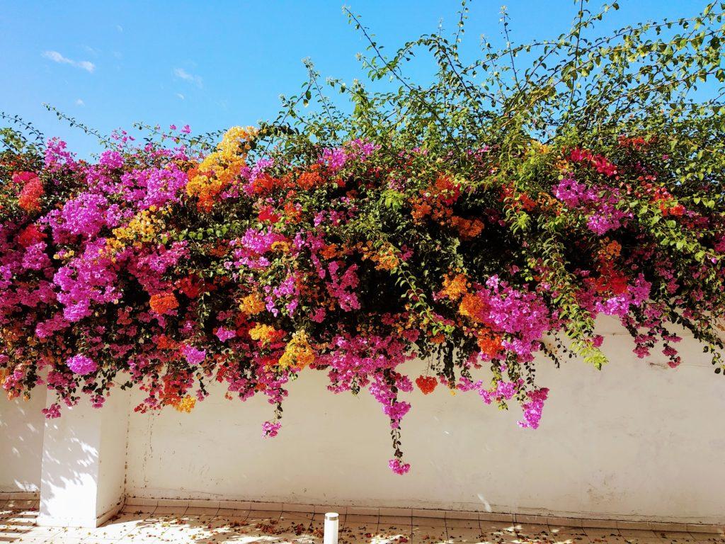 Kolory Maroka – wielokolorowe bugenwille